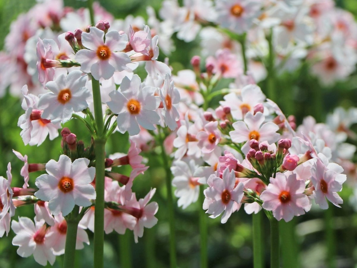 primula-japonica-apple-blossom-1