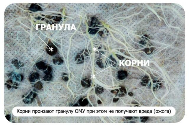 Корневая система растения и гранулы ОМУ