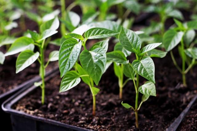 Одно дело – знать причину, другое - создать в квартире оптимальные условия для выращивания рассады