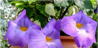 Тунбергия прямостоячая — цветущий комнатный кустарник