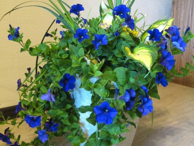 Очень часто фиолетовые петунии приобретают на фото невероятно синий цвет