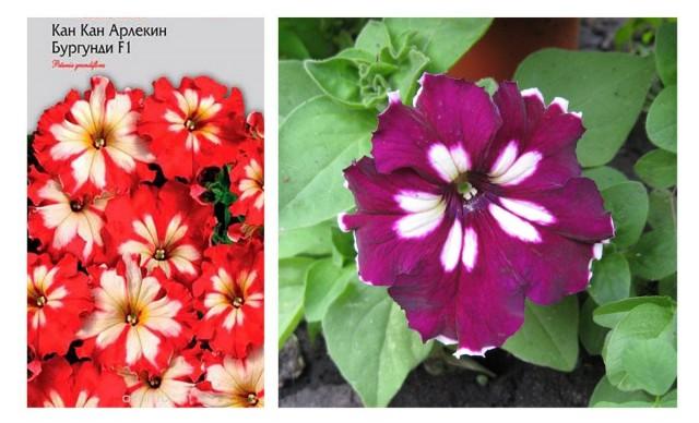 Фото производителя обещало красную петунию с белыми отметинами, но она выросла совсем не такой