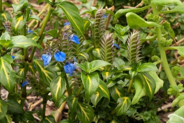 Рунгия Клосса (Rungia klossii)