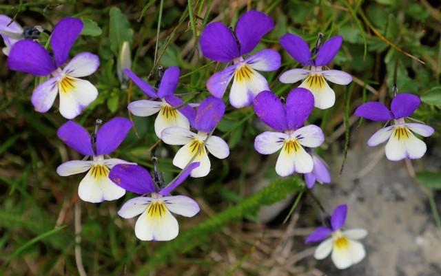 Фиалка трехцветная (Viola tricolor)