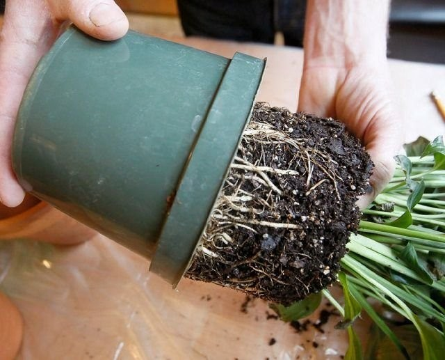 При перевалке растение аккуратно вынимают из горшка и, не отряхивая почву, переносят в ёмкость большего размера