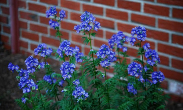 Синюха лазурная (Polemonium caeruleum)