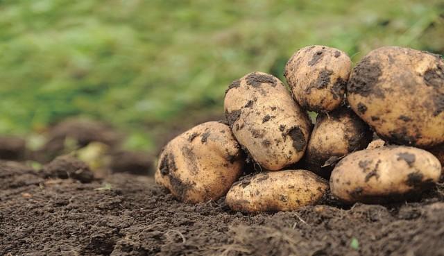 Из-за болезней, вызываемых почвенными грибными патогенами, картофель может терять до трети урожая