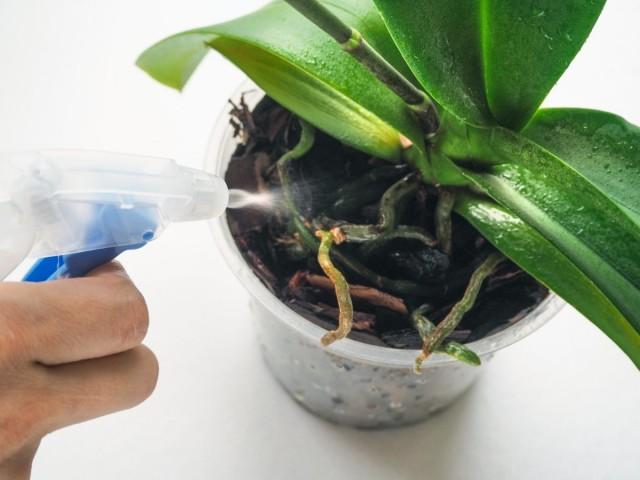 При внекорневых подкормках раствор заливают в пульверизатор или опрыскиватель и смачивают листья орхидеи
