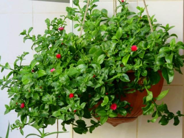 Мезембриантемум сердцелистный, или Аптения сердцелистная (Mesembryanthemum cordifolium)