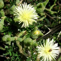 Мезембриантемум белоцветковый, или Аптения белоцветковая (Mesembryanthemum geniculiflorum)