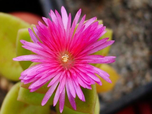Цветы аптении немного напоминают цветы хризантемы