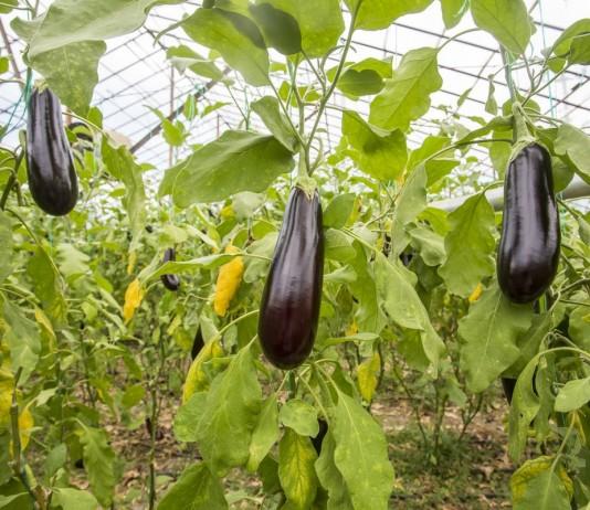 Баклажаны в теплице — правила выращивания и лучшие сорта