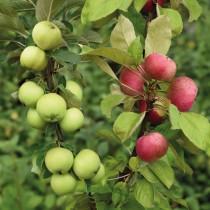 Дерево-сад яблоня