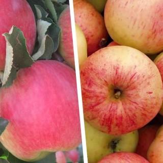 """Дерево-сад """"Яблоня Мельба - Сахарный Мирон"""" с двумя привитыми сортами"""