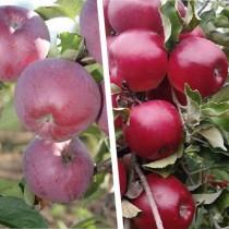 """Многосортовое дерево-сад """"Яблоня Спартан - Мекинтош"""" с двумя привитыми сортами"""