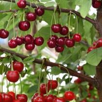 Дерево-сад вишня