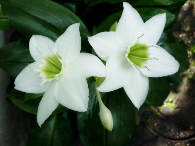 Эухарис крупноцветковый (Eucharis grandiflora)
