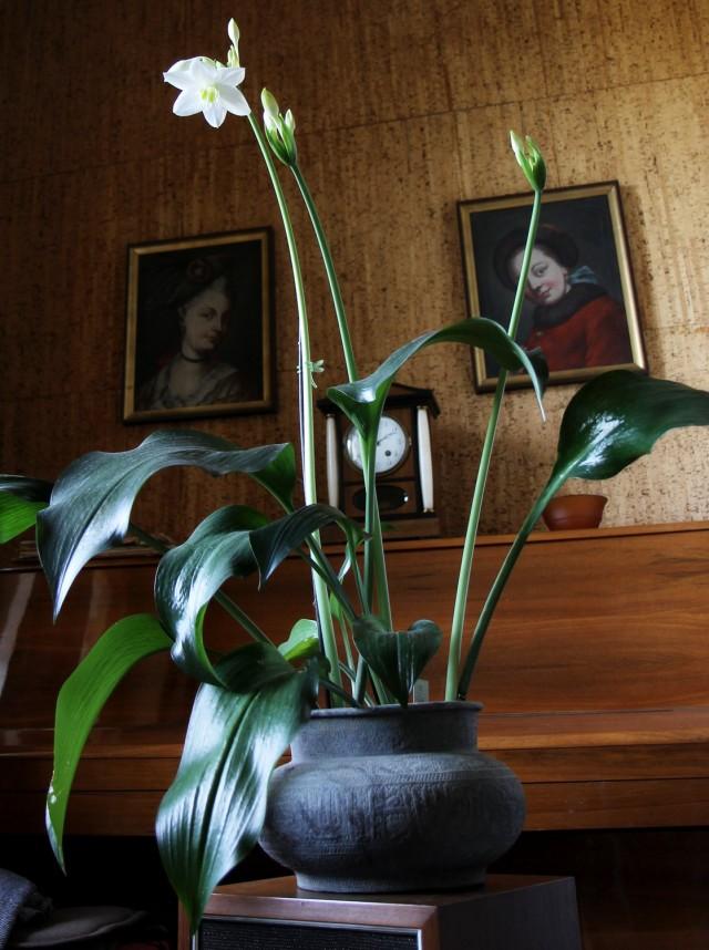 Эухарис амазонский (Eucharis amazonica)