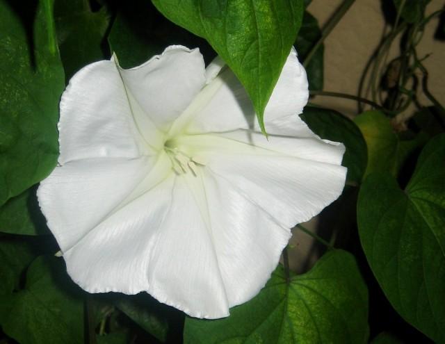 Ипомея ночная (Ipomoea noctiflora)