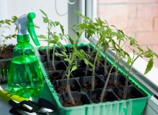 Многие сами выращивают рассаду томата, перца, огурца и других культур в комнатных условиях