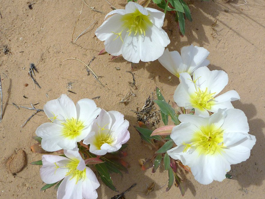 oenothera-californica1