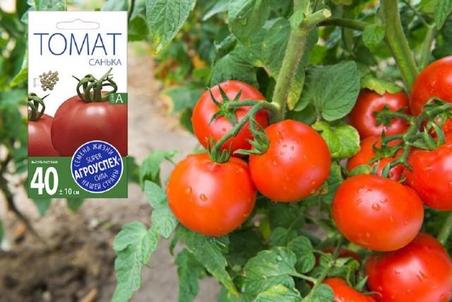 Сорт томата «Санька» – один из самых востребованных в России