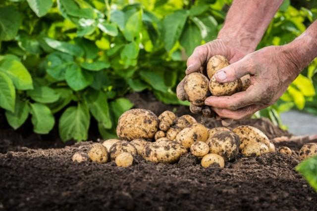 Отсутствие правильной предпосевной обработки может свести на нет все последующие усилия по выращиванию культуры