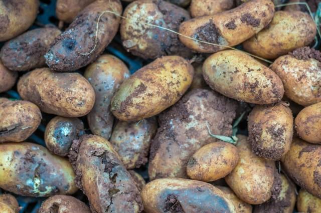 Если вовремя не заметить и не предотвратить распространение заболевания, можно лишиться всего собранного урожая картофеля