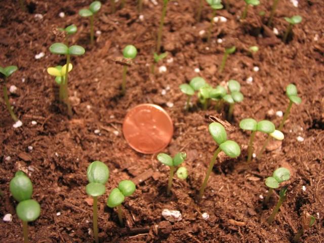 В регионах с мягкими зимами посев цинний можно проводить сразу в почву