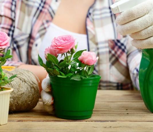 10 секретов выращивания комнатных роз