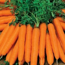 Морковь «Амстердамская»