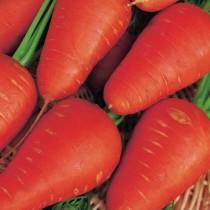 Морковь «Шантенэ 2461»