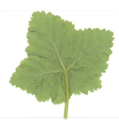 лист тыльная сторона