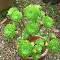 Эониум древовидный (Aeonium arboreum)