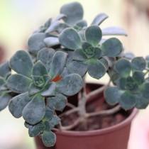 Эониум Хаворти (Aeonium haworthii)