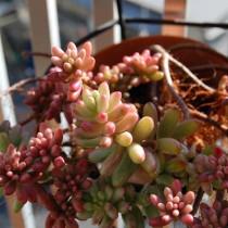 Очиток красноокрашенный (Sedum rubrotinctum)