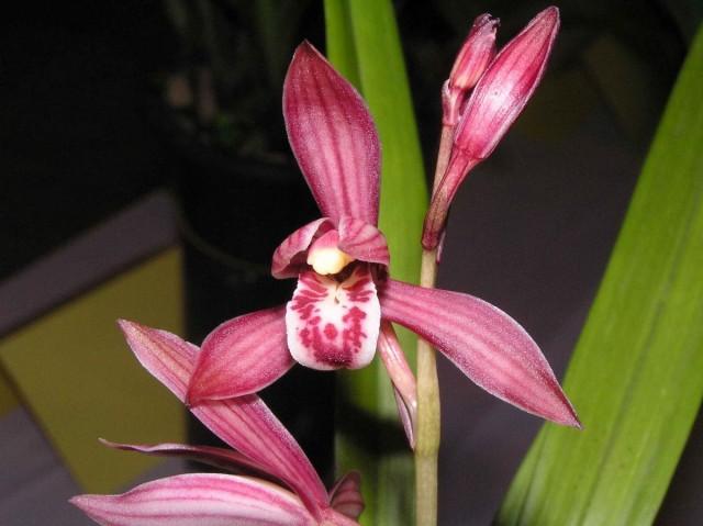 Цимбидиум мечелистный (Cymbidium ensifolium)