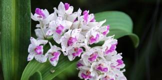 7 самых ароматных орхидей с пряным запахом