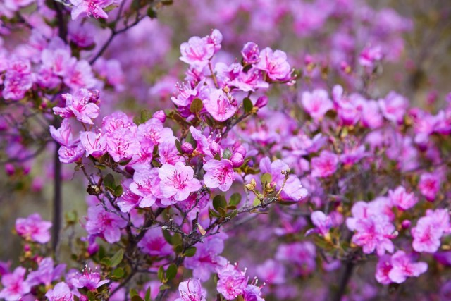 Рододендрон даурский (Rhododendron dauricum)