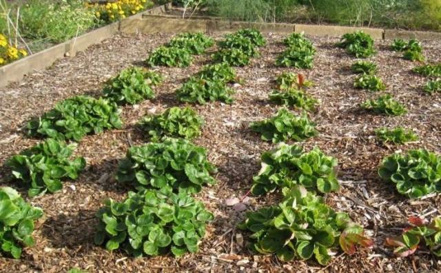 Мульчирование земляники садовой щепой