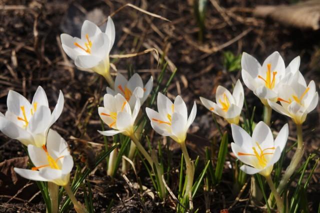 Цветки крокусов отличаются нежным ароматом и привлекают множество пчел