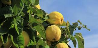 Айва — неприхотливое и красивое дерево, вкусные и полезные плоды