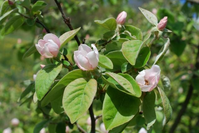 Цветы айвы - крупные и нежно-розовые - слегка напоминают цветы магнолии