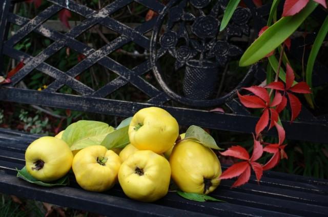 Для получения максимального вкуса и аромата плоды айвы стоит подержать на дереве, как можно дольше