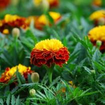 Бархатцы африканские (Tagetes erecta) Orange Flame