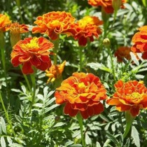 Прямостоячие бархатцы (Tagetes erecta) Gold Dollar