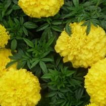 Прямостоячие бархатцы (Tagetes erecta) Lemon Queen