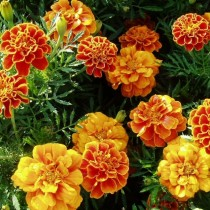 Прямостоячие бархатцы (Tagetes erecta) Queen Sophia