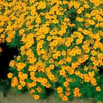 Бархатцы тонколистные (Tagetes tenuifolia) Gnom
