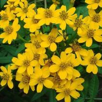 Бархатцы Нельсона (Tagetes nelsonii)